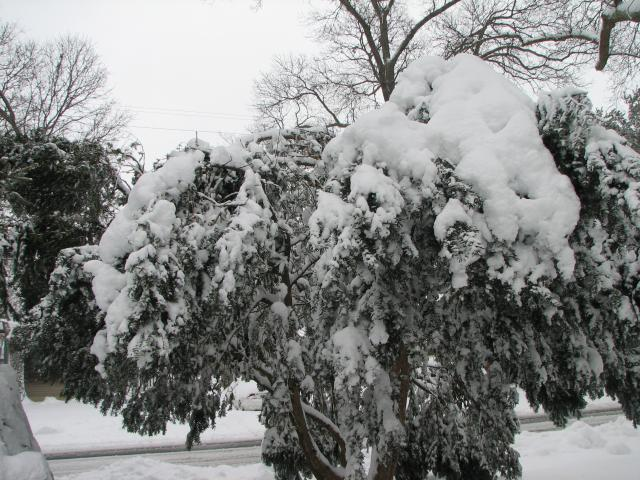 tree flat from snow